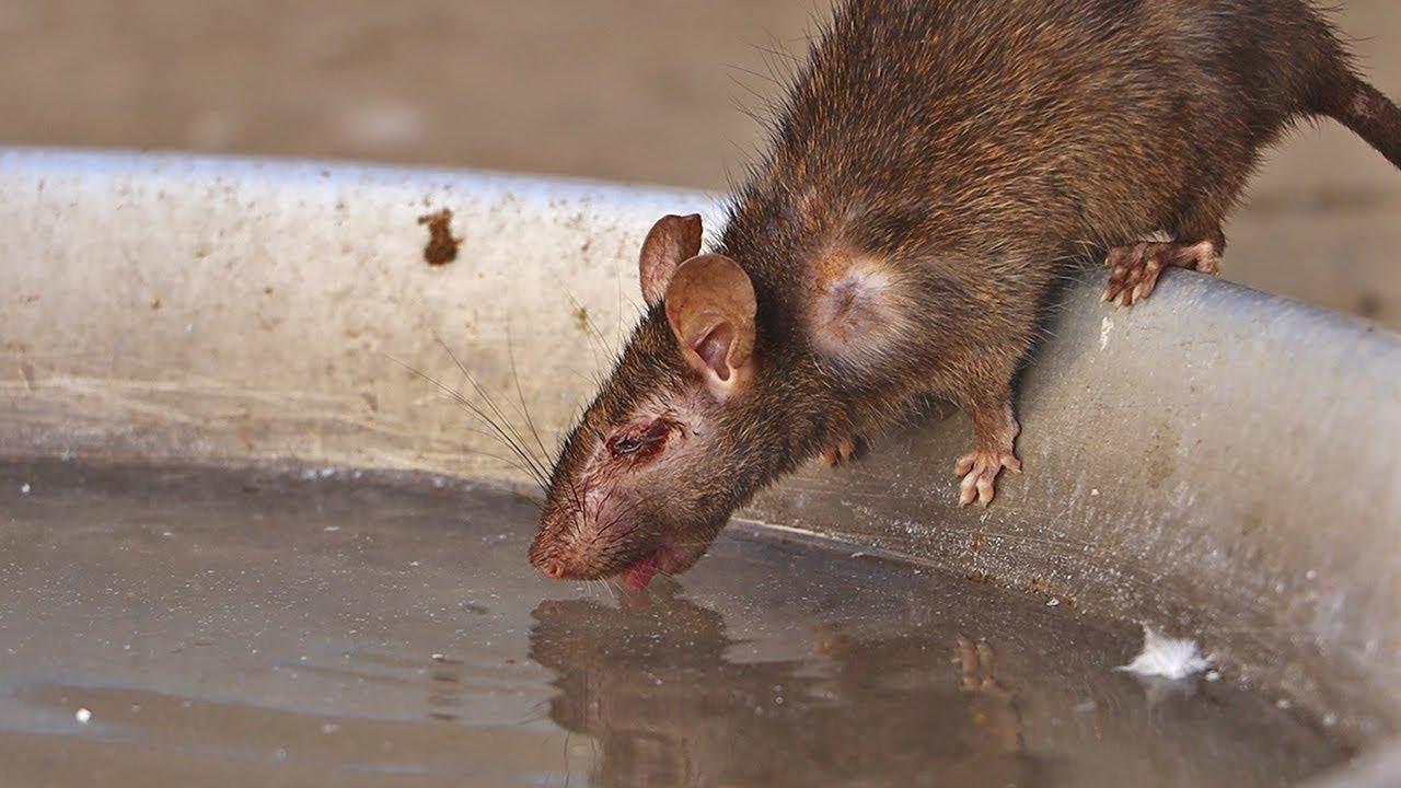 Prevención de ratas: cómo mantener alejadas a las rata