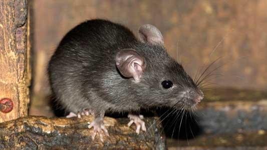 Cómo eliminar las ratas de las tuberías